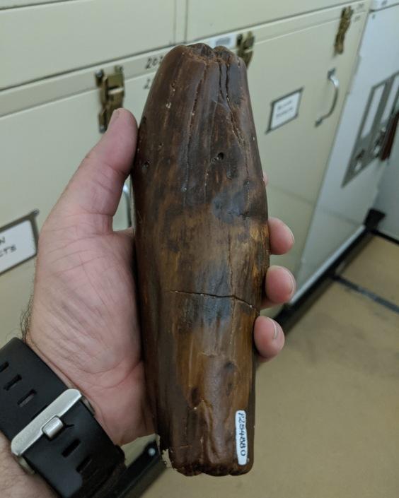 Killer Sperm Whale Tooth